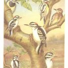 WJ Breckenridge Bird Portrait Yellow Bellied Sapsucker Print