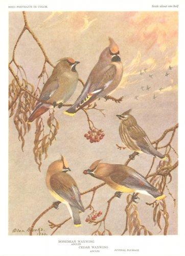 Allan Brooks Bird Portrait Print Bohemian Waxwing Cedar
