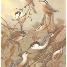 Allan Brooks Bird Portrait Titmice Nuthatches Print 1960