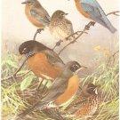 Allan Brooks Bird Portrait Eastern Bluebird Robin Print 1960