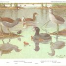 Allan Brooks Bird Portrait Gallinule Coot Vintage Print 1960