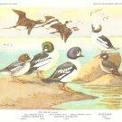 Allan Brooks Bird Portrait Diving Ducks Squaw Vintage Print