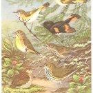 Walter Weber Bird Portrait Wood Warbler Vintage Print 1960