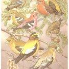 Walter Weber Bird Portrait Crossbill Grosbeak Print 1960