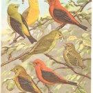 Walter Weber Bird Portrait Tanager Vintage Print 1960