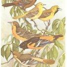 Walter Weber Bird Portrait Orioles Vintage Print 1960