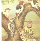 Breckendridge Bird Portrait Woodpecker Vintage Print 1960