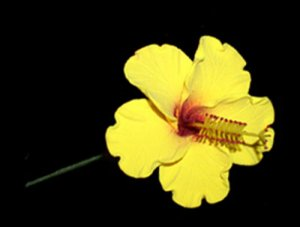 Hawaiian Hand Made Extra Large Feather Light Hair Pick Hibiscus Flower Yellow