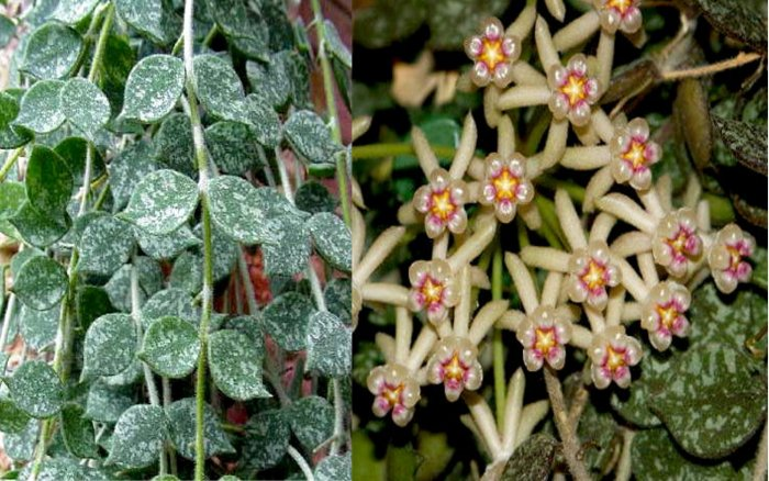 Hoya Curtisii -Shooting Star Pearl Colored Blooms