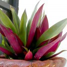 Rhoeo Spathacea, Tropical Beauty Oyster Plants 20 SEEDS
