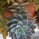 Unknown Powder Blue Succulent Rosette WOW