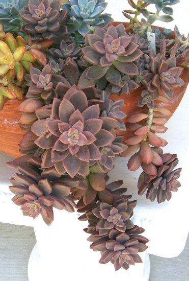 Sedum 'Vera Higgins'    Succulent 1 Rosette Plant