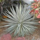 Agave Angustifolia Marginata 30 seeds ~Beautiful Cactus Succulents !