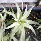 Haworthia Limifolia V. Ubomboensis Succulent Plant
