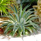 Agave Desmettiana Variegata, Smooth Succulent 1 Gallon Plant