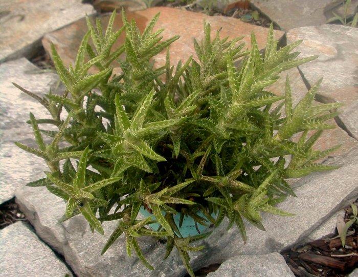 Miniture Aloe Juvenna Succulents House Plants or garden