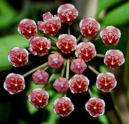 Hoya Kentiana Burgandy BLOOMS  House Plants Patio Outdoors  (G)
