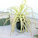 Tillandsia Utriculata A Giant Endangered Air Plant! 50 seeds