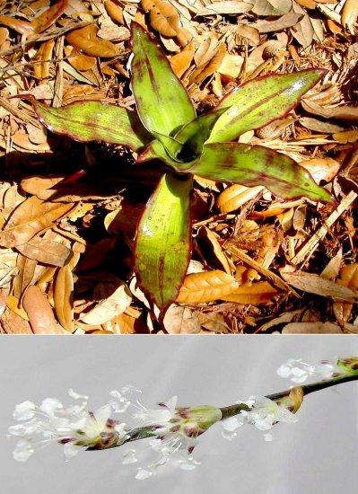 Callisia Fragrans The False Bromeliad Indoor/outdoor