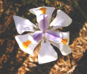 Dietes Iridioides or the African Iris
