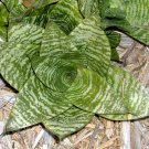 Sanseveria Trifasciata Hahnii Rosette Plant Indoors or out