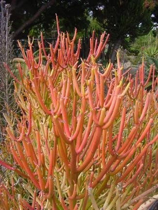 Euphorbia Tirucalli - Pencil Cactus Succulent