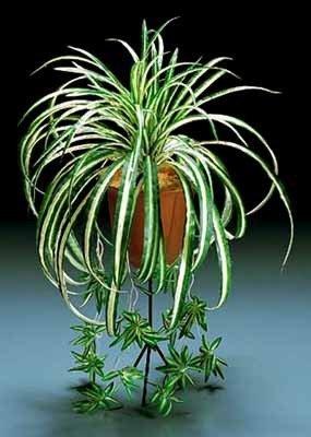Spider Plant Variegated Chlorophytum Comosum, MOST EASY HOUSE PLANT!