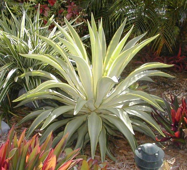 VERY RARE Joe Hoak Variegated Agave Desmettiana Plant