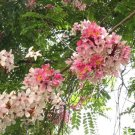 Pink & White Shower Tree, Cassia Javanica 20 Seeds, OH SO BEAUTIFUL!!!