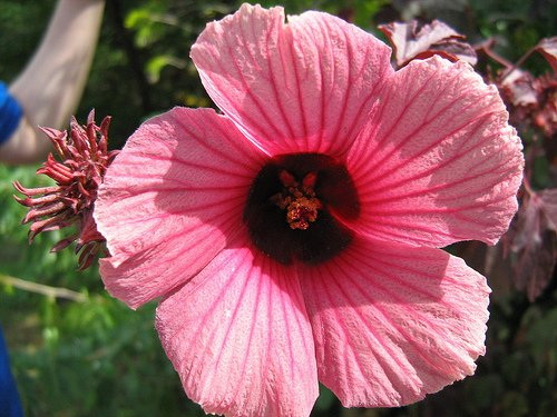 Red Leaf Hibiscus Acetosella
