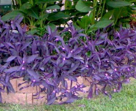 Purple Heart Wandering Jew ~ Tradescantia Pallida Purpurea