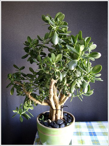 Crassula Argentea, Common Jade Succulent,  Great House Plant!