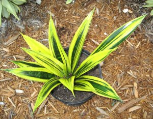 Rare Sansevieria Trifasciata 'Gold Flame'  Variegated Beauty!