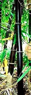 Rare Timor Black Bamboo / Bambusa Lako
