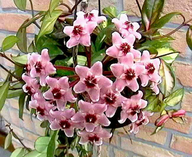 "Hoya Rubra Plants 6"" POTS!"
