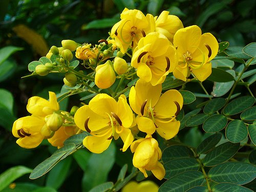 Christmas Cassia / Cassia Bicapsularis WINTER BLOOMER - ONLY ONE IN STOCK!