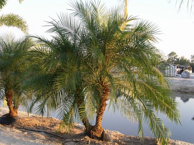 Phoenix Roebelenii ~ Pygmy Date Palm 15 seeds