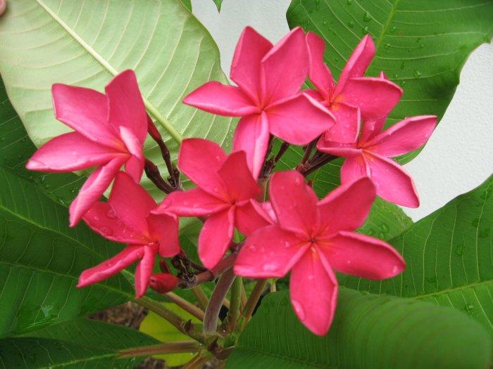 Miami Rose Plumeria Bush/Tree, Hawaiian Lei Flower! Frangipani
