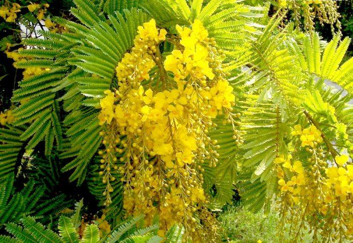 Yellow Poinciana Tree! Beautiful Peltophorum / Copper pod