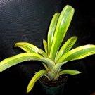 SALE! Billbergia Pyramidalis Striata Bromeliad Variegated House Plant