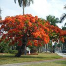 Royal Poinciana, Delonix Regia 10 Seeds, VOTED Most Colorful Tree!