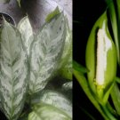 Rare Aglaonema 'Abidjan' ~ Chinese Evergreen GREAT HOUSE PLANTS!