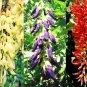 RARE BLACK JADE VINE! ASIAN MUCUNA NIGRICANS PLANT