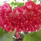 Rare Dombeya Cacuminum, Evergreen Tree 8 Seeds Strawberry Snowball
