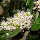 African Schotia Latifolia Tree Seeds, Gorgeous Bush Boer Bean