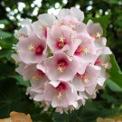 African Dombeya Burgessiae Tree 8 Seeds, The Pink Wild Pear or Apple Blossom