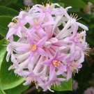 South African PomPon Tree or Shrub ~ Dais Cotinifolia 6 Seeds, Pincushion or Kannabast