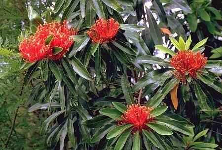 Alloxylon Flammeum Tree ~  Vulnerable Queensland Waratah