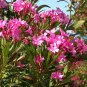 Nerium Oleander HOT PINK 15 seeds, Small & Hardy Tropical Tree/Shrub