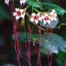 Strophanthus Petersianus Shrub, Sand Forest Poison Rope Bush 6 Seeds
